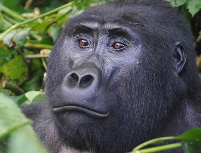 Africa gorilla tracking